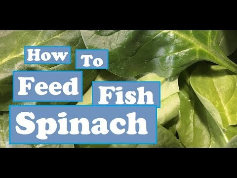 How To Feed Fish Spinach