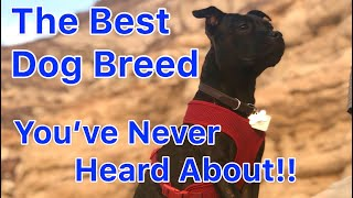English Staffy / Staffordshire Bull Terrier The Best Overall Dog Breed for the Majority of People