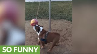 Active bulldog loves to exercise with tether ball