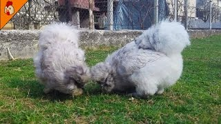 Fluffy Silkie Chickens - Relaxing Chicken Videos - Videos for Kids - Farm Animal Videos