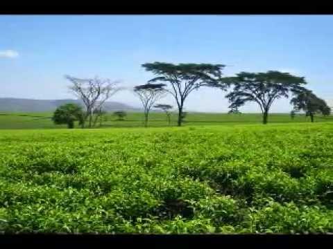 Zimbabwean Tea Plantations