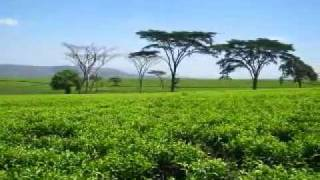 Zimbabwean Tea Plantations