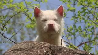 中华下司犬是我中华名猎,旺旺是一只大狗,雪饼是给旺旺配的童养媳.