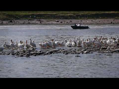 Pelicans at Lockport, Manitoba, Canada