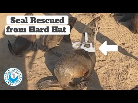 Seal Rescued from Hard Hat
