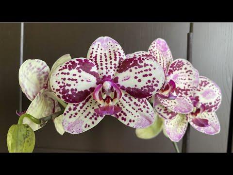 ОРХИДЕЯ фаленопсис Фронтера Phalaenopsis Frоntera