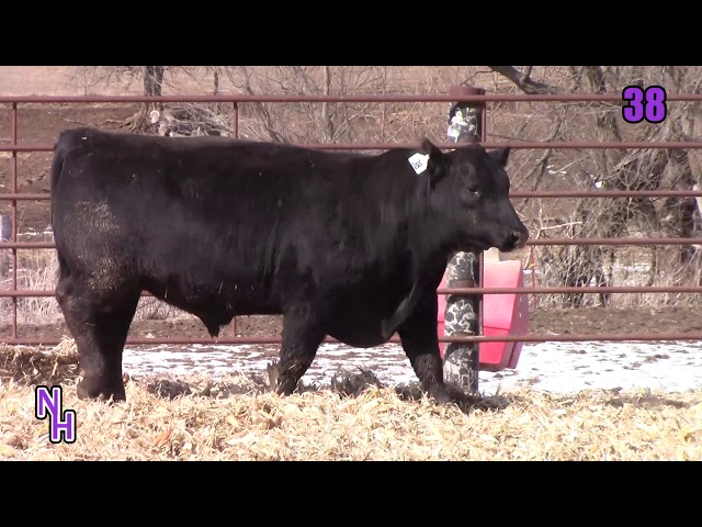 New Haven Angus Lot 38