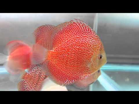 Super Eruption Discus Fish   YouTube