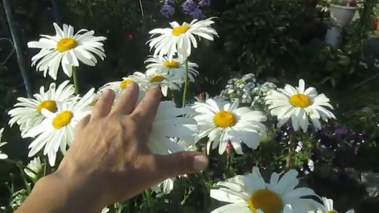 ромашка от вредителей сада и огорода
