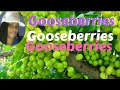 Caribbean Gooseberries
