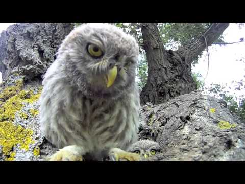 Curious baby owls investigate camera