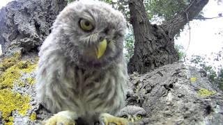 Curious baby owls investigate camera