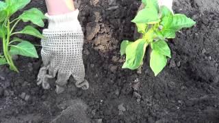 Посадка перца рассадой в открытый грунт(, 2013-05-25T19:59:03.000Z)