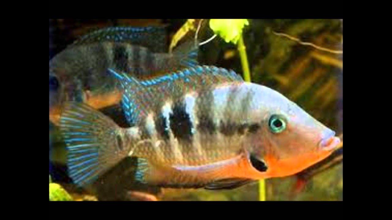 Los mejores peces ciclidos para tu acuario youtube for Clases de peces de acuario