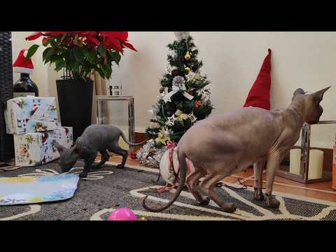 Sphynx cat family is waiting for Christmas present / DonSphynx