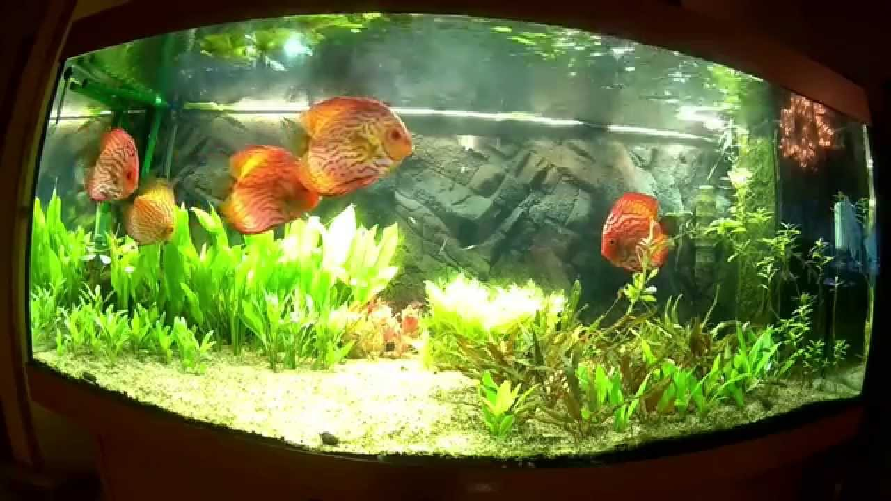 juwel rio 400 diskusaquarium mit der sj4000 aufgenommen discus aquarium filmed with the sj4000. Black Bedroom Furniture Sets. Home Design Ideas