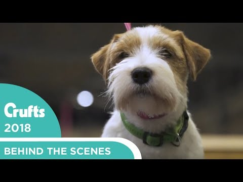 Meet the Jack Russells at Crufts 2018