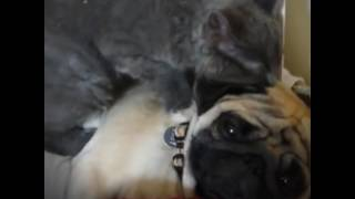 Pug Gets Massage From Cat