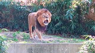 Epic Lion Roar at the DC ZOO