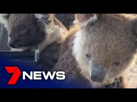 Rehydrating Koalas On Kangaroo Island   South Australia   7NEWS