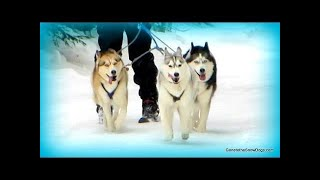 Dog Sledding 3 DOG TEAM Memphis pulls a Sled