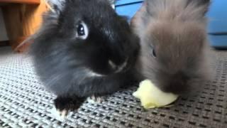 Süße Kaninchen streiten um Apfel