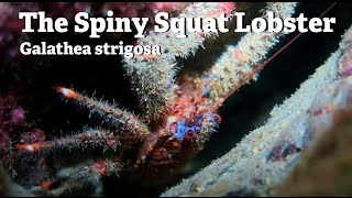 The Spiny Squat Lobster