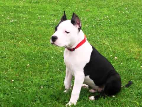 american staffordshire terrier (daddy)