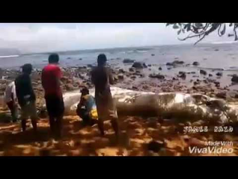 globster and oarfish found in the philippines