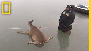 氷の上で動けなくなったシカを救出|ナショジオ