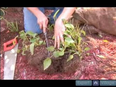 How To Plant And Care For Black Eyed Susans : How ...