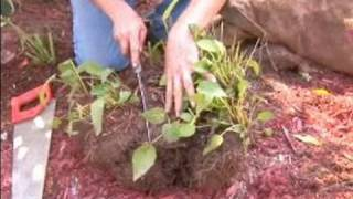 How To Plant And Care For Black Eyed Susans : How To Divide Black Eyes Susans