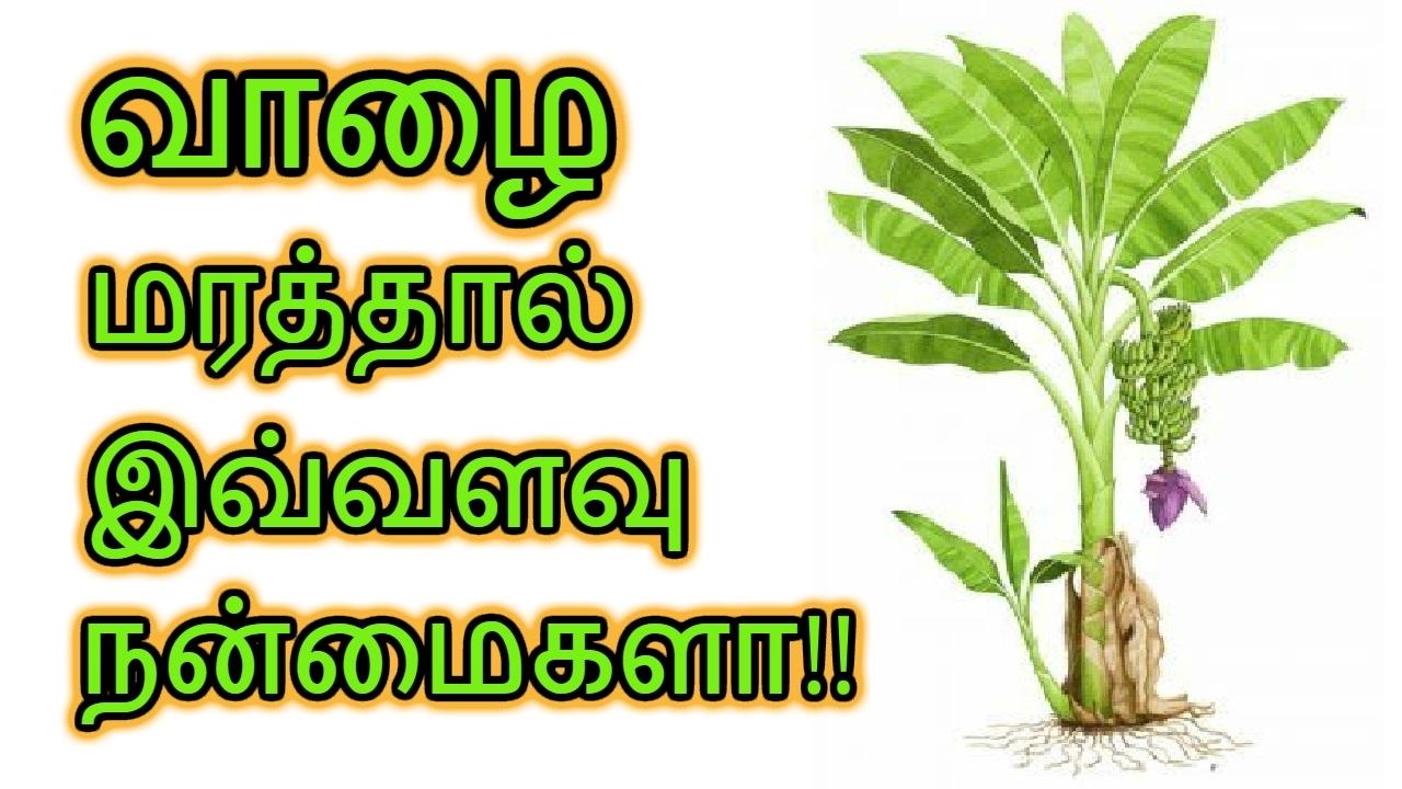 Benefits of Growing Banana Tree at Home Tamil   Benefits of Banana Tamil    Health Tips
