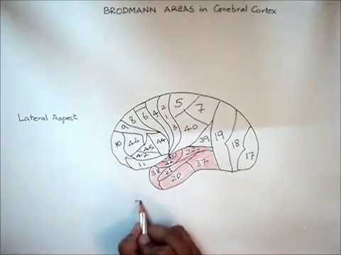 Neurophysiology Diagram: How To Draw Brodmann Areas In Cerebral Cortex  Lateral Aspect