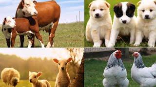 Ali Babanın Bir Çiftliği Var  Ali Baba   There is a Farm .
