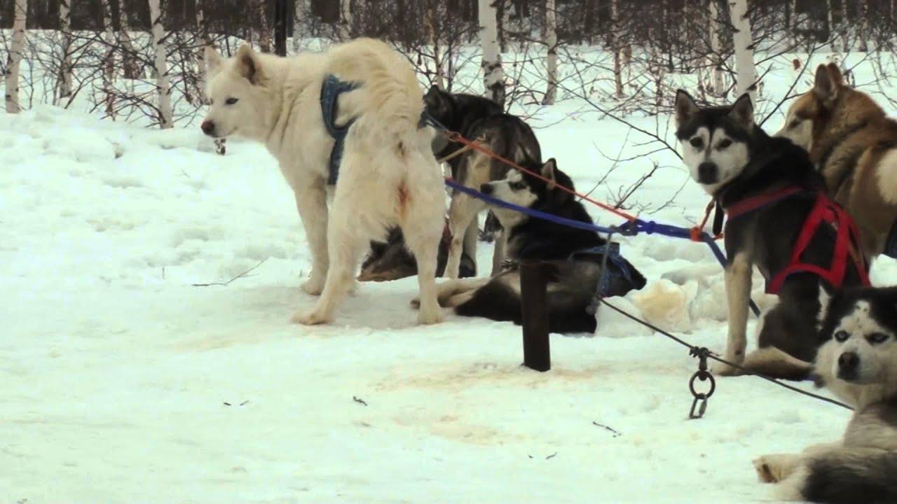 Щенок хаски Найк играет и кусается|Husky puppy plays Nike and .