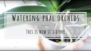 Watering my Phalaenopsis orchids (bonus: Hoya carnosa tricolor and Tillandsia)
