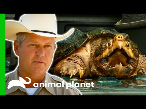 Game Warden Deals With An Alligator Snapping Turtle   Lone Star Law