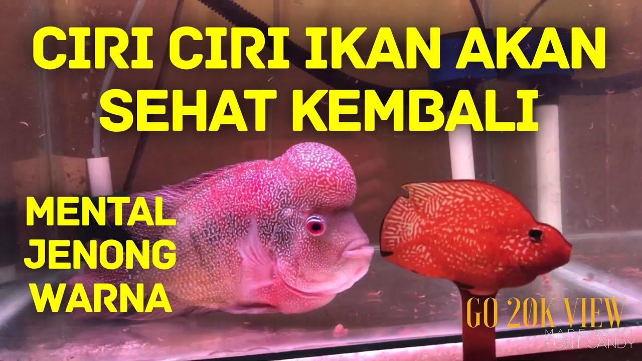 Jangan Terkecoh Ciri Ciri Ikan Hias Louhan Akan Sehat Kembali Dari Sakit Eiknumoto Youtube