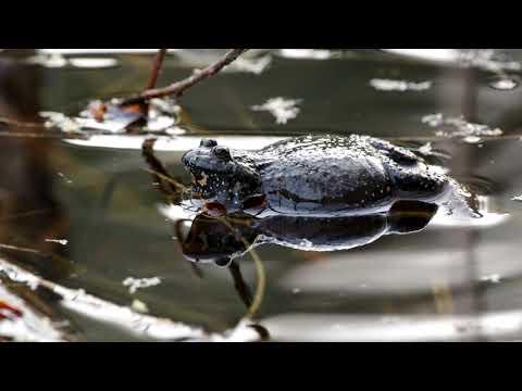 Поющие жерлянки. Singing frogs