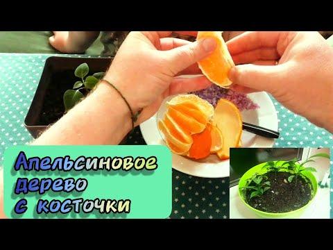 Как из косточки вырастить апельсиновое дерево из косточки в домашних условиях