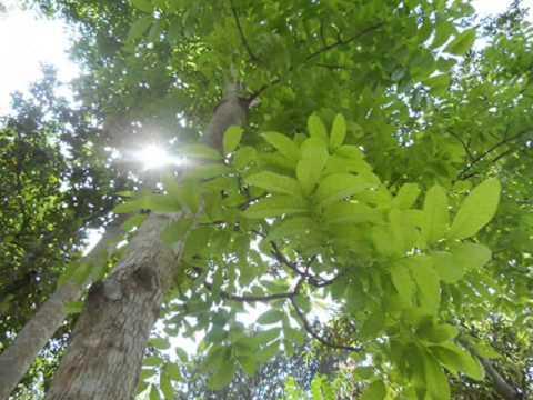Mahogany Teak Black Wood Siamese Rosewood Rosewood