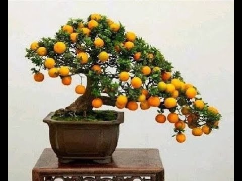 Bonsai Kumquat Tree Youtube