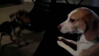 Strange Beagle Sounds