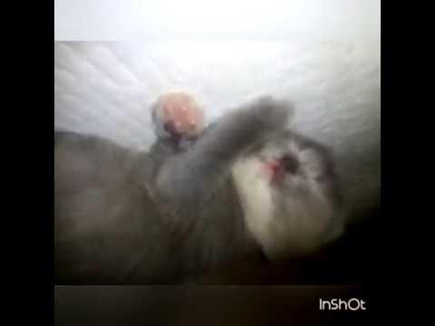 Котята нашей кошки Мишельки) ОДИН ПОКАЗЫВАЕТ ЯЗЫК;)