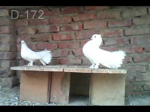 Laka kabooter  Videos  26  D 172