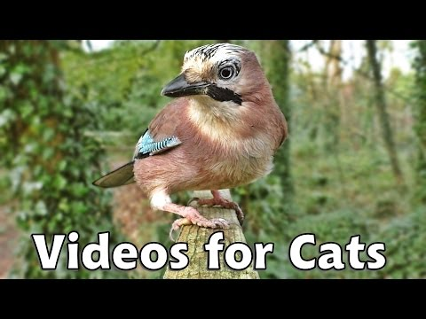 Movies for Cats - Jay Birds Everywhere
