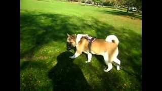 Coco Akita Service Dog Long Leash Training