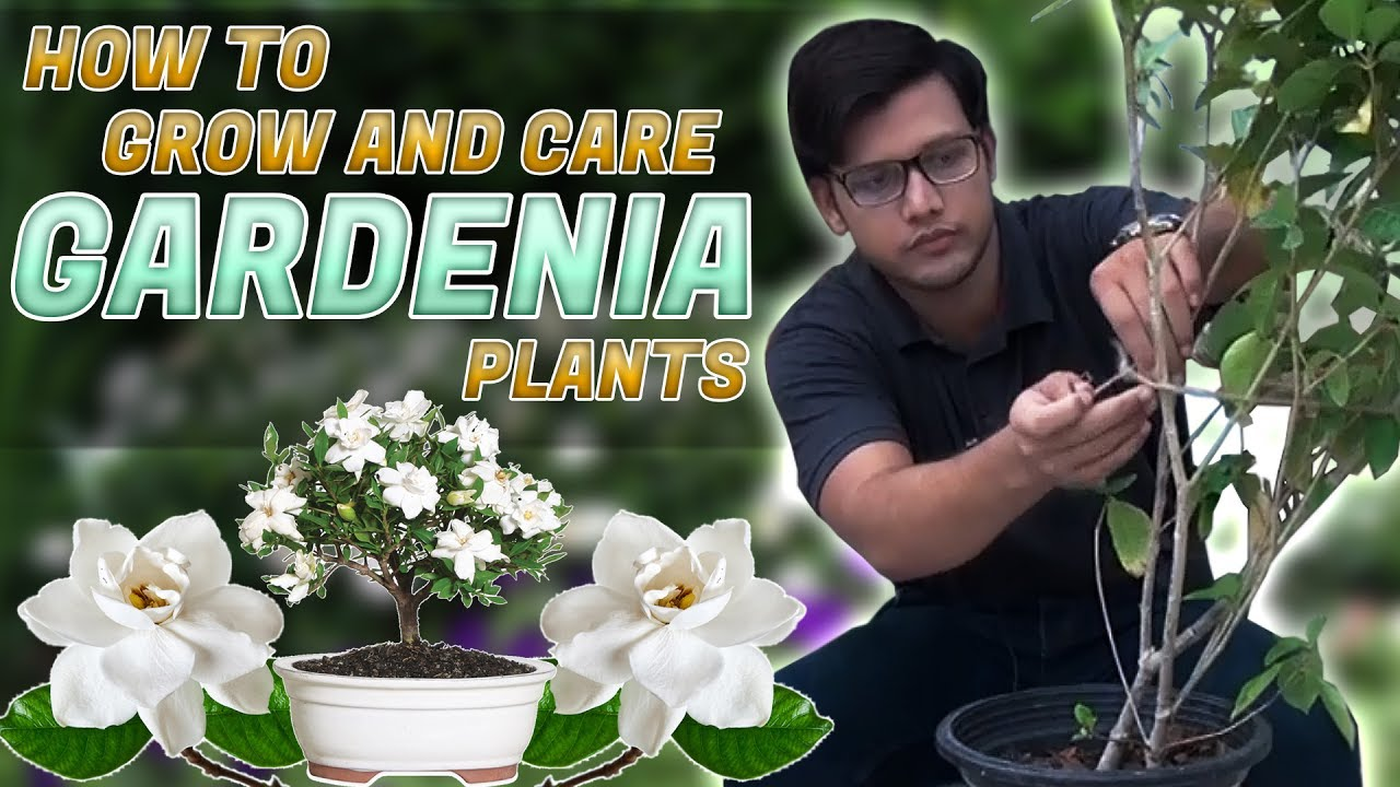 How To Grow And Care Gardenia Plants In Urdu Hindi Youtube
