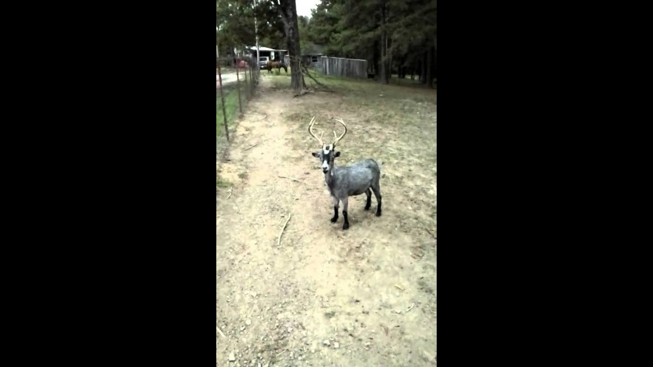 How to keep your goat from escaping net wire fence - YouTube
